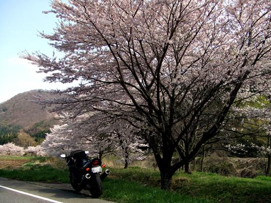 石部桜①.JPG