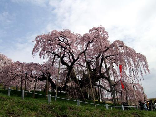 石部桜④.JPG