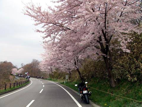 石部桜⑩.JPG