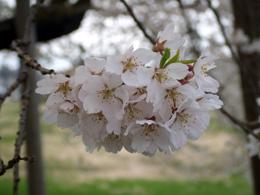 石部桜⑱.JPG